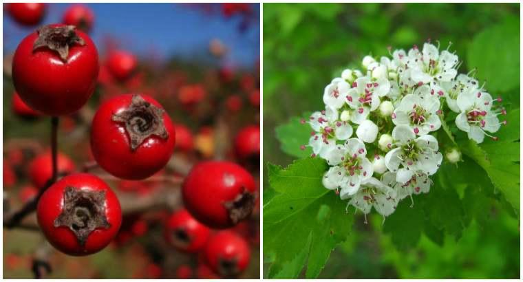 Польза плодов и цветков боярышника