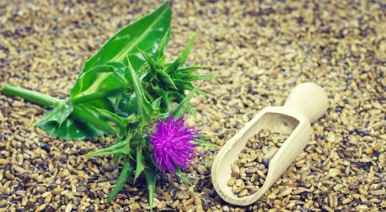 Расторопша – лечебные свойства, применение, противопоказания