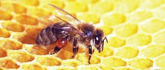 Прополис – пчелиный клей