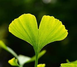 Гинкго билоба (растение) – полезные свойства и применение гинкго билобы, экстракт гинкго билобы, листья. Масло и чай гинкго билобы