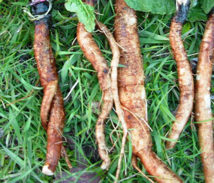 заготовка корней репейника