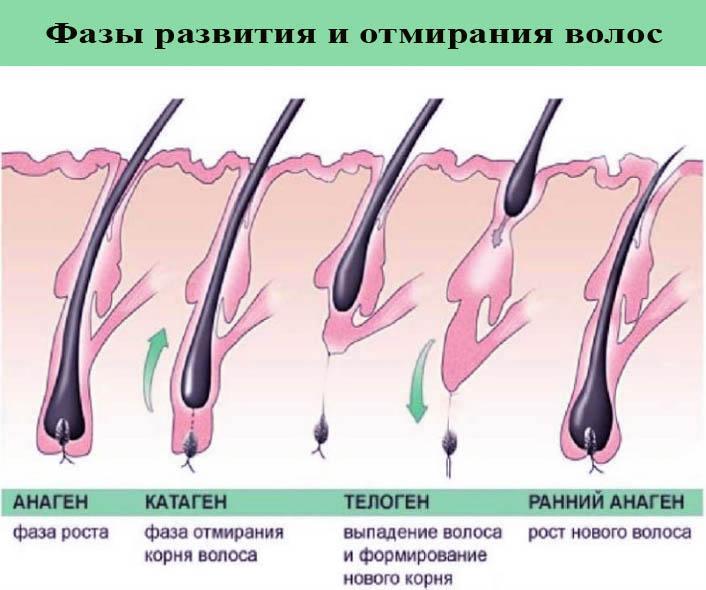 Фазы роста и выпадения волос