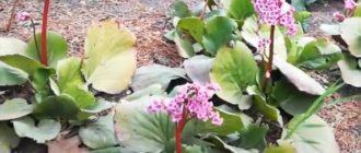 Фото цветки бадана толстолистного