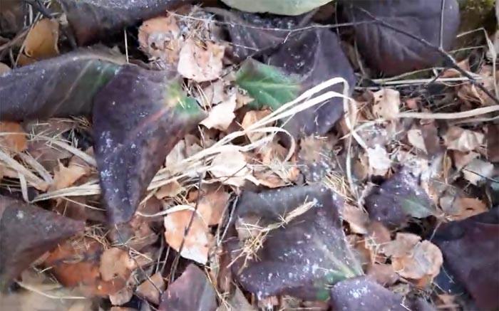 Сбор листьев бадана фото