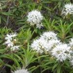 Лечебные свойства и применение багульника болотного