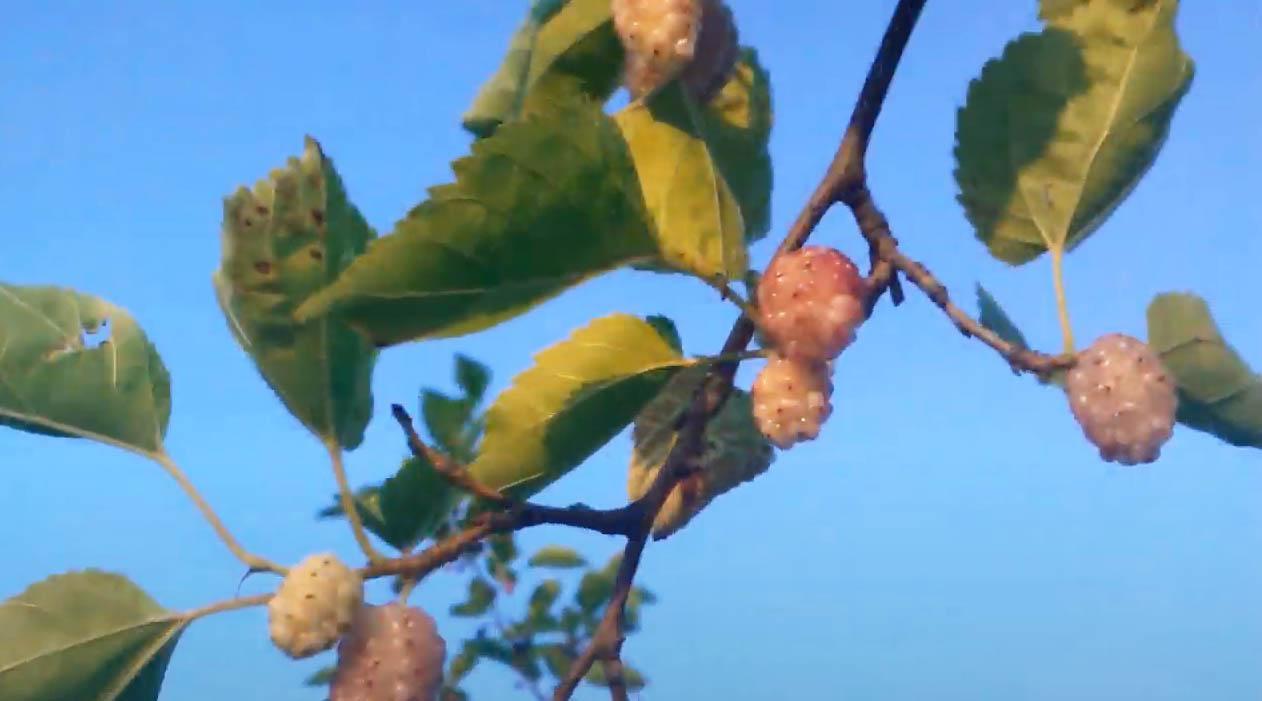 Фото: так растёт белая шелковица