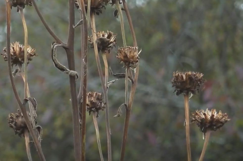 Фото: как выглядит девясил осенью