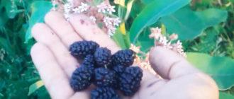 Фото: чёрная шелковица в ладони