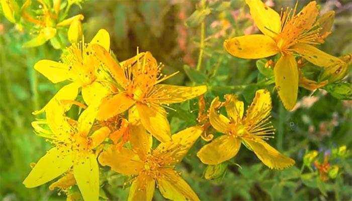 Цветки зверобоя фото